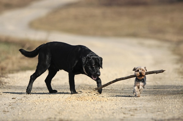 Image - leap of faith - dogs w stick.jpg